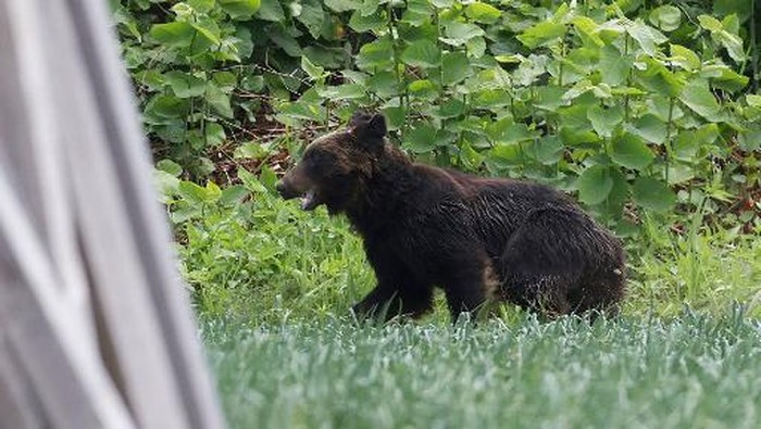 This picture shows a brown bear that is on the loose in Sapporo, Hokkaido prefecture on June 18, 2021. - A brown bear was on the loose in the northern Japanese city of Sapporo, with the government warning residents to stay home after the animal injured four people including a soldier. (Photo by STR / JIJI PRESS / AFP) / Japan OUT