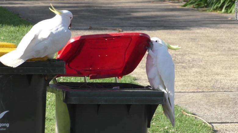 Burung kakatua di Australia
