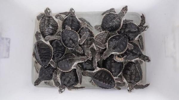 Kelompok konservasi penyu Nagaraja terpaksa melepasliarkan 31 ekor tukik usia sembilan bulan dan 30 ekor tukik usia 15 hari.