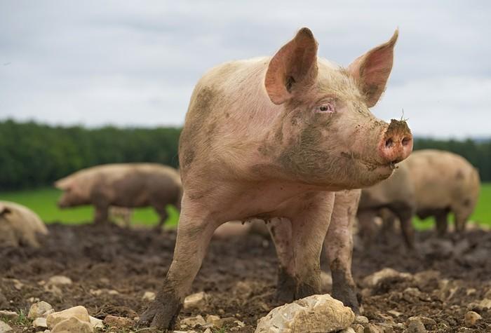 3 Agama Ini Mengharamkan Konsumsi Babi untuk Umatnya