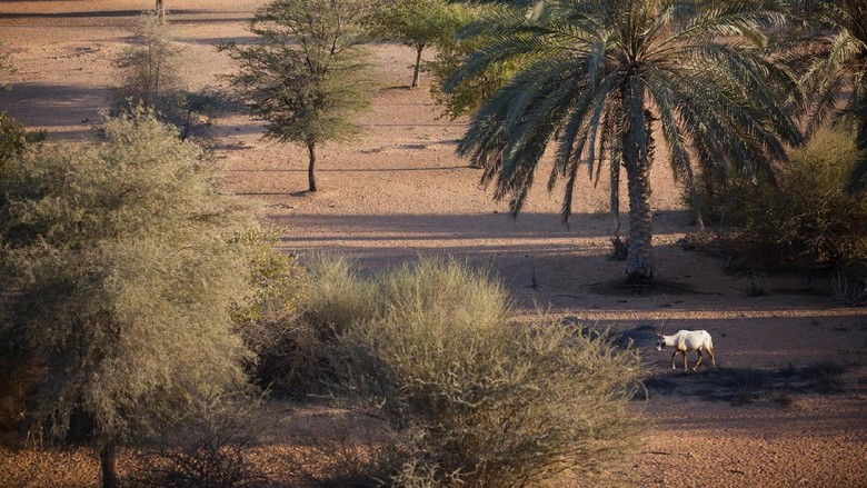 Suaka Oryx Arab di Oman