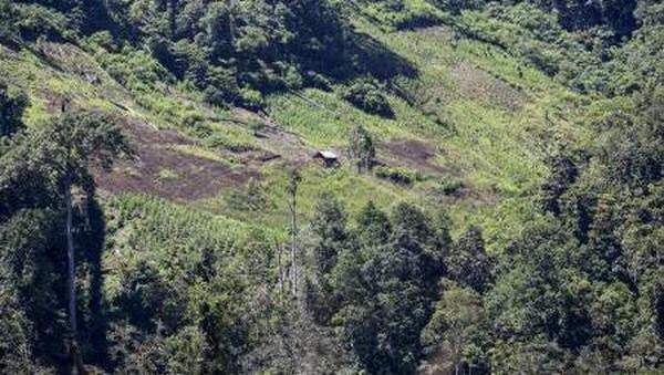 Di Desa Pulo, Kecamatan Seulimeum, Kabupaten Aceh Besar terdapat dua hektare tanaman ganja dan di Desa Beutong Ateuh, Kecamatan Beutong, Kabupaten Nagan Raya seluas tujuh hektare tanaman ganja siap panen. (Syifa Yulinas/Antara)