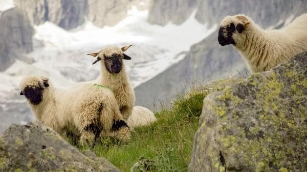 Karena banyak dijual sebagai hewan ternak, domba valais blacknose mulai langka. (Getty Images/iStockphoto)