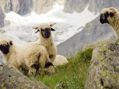 Gemas dan Lucu, Shaun the Sheep Ini Harganya Selangit