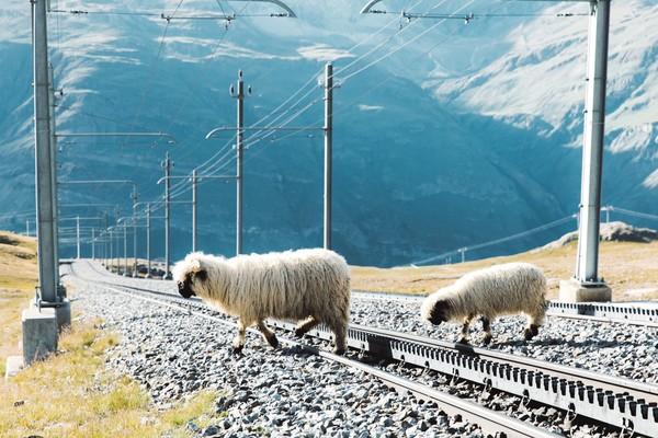 Karena tinggal di pegunungan, bulu dari domba ini sangat lebat. Kalau diternak selama setahun bisa memanen 4 kg benang bulu per ekor. (Getty Images/iStockphoto)
