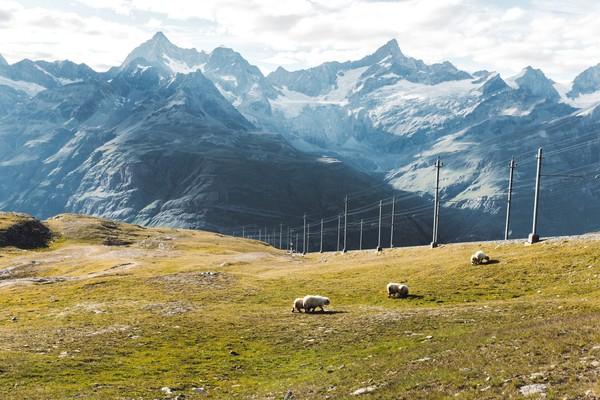 Di Pegunungan Swiss hiduplah domba-domba menggemaskan bernama valais blacknose. (Getty Images/iStockphoto)