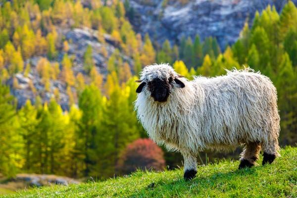 Menggemaskan, jinak dan punya banyak keuntungan, satu ekor domba ini dihargai paling murah sekitar Rp 100 jutaan. (Getty Images/iStockphoto)