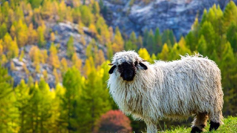 Domba Valais blacknose, domba shaun the sheep