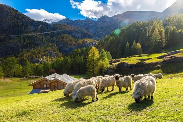 Tak seperti namanya hidung hitam, seluruh tubuh domba ini juga berwarna hitam, kecuali bulunya.(Getty Images/iStockphoto)
