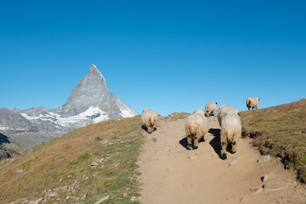 Selain bulunya, domba ini juga diternak karena memiliki daging yang banyak. (Getty Images/iStockphoto)