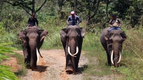 """Upaya penangangan konflik dengan melakukan patroli dan menggiring kawanan gajah liar dengan gajah jinak bahkan memindahkannya ke lokasi yang jauh dari pemukiman penduduk juga terus kami lakukan,"" kata Koordinator Conservation Response Unit (CRU) DAS Peusangan Kabupaten Bener Meriah Syahrol Rizal. (Irwansyah Putra/Antara)"