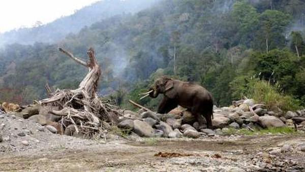 Sejak 2011 hingga hari ini, konflik manusia dengan gajah liar masih terus terjadi di Kabupaten Bener Meriah Provinsi Aceh. (Irwansyah Putra/Antara)