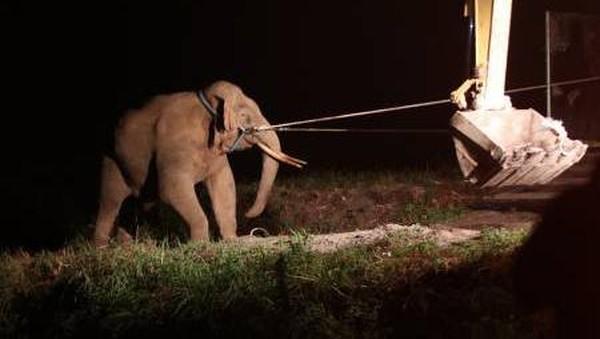Peningkatan konflik gajah yang masih berlanjut hingga pertengahan 2021 dikhawatirkan akan berdampak terhadap kelestarian dan menyusutnya habitat satwa langka dan dilindungi itu. (Irwansyah Putra/Antara)