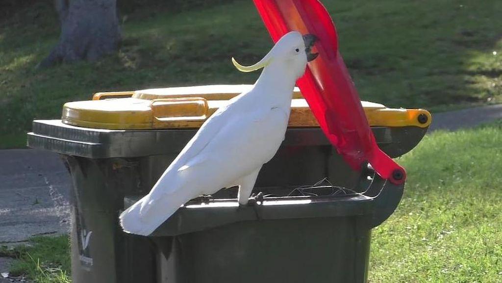 Kakatua di Australia Bisa Membuka Penutup Tempat Sampah Milik Warga