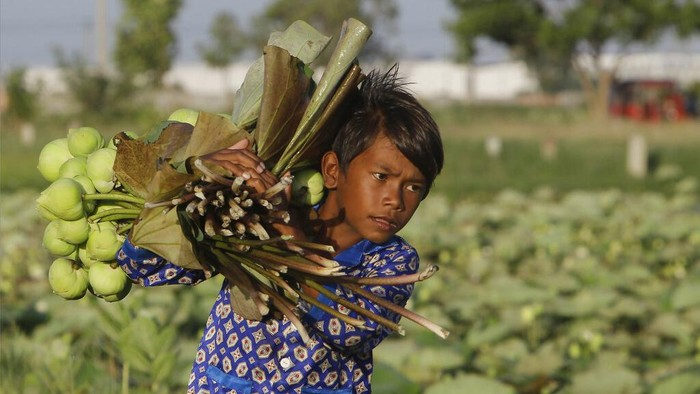 A boy  helps his father collect lotus flowers to sell in the market in Krasaing Chrum village on the outskirts of Phnom Penh, Cambodia, Thursday, July 22, 2021. (AP Photo/Heng Sinith)