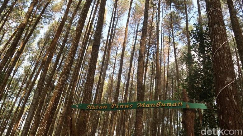 Hutan pinus Mangunan di Bantul