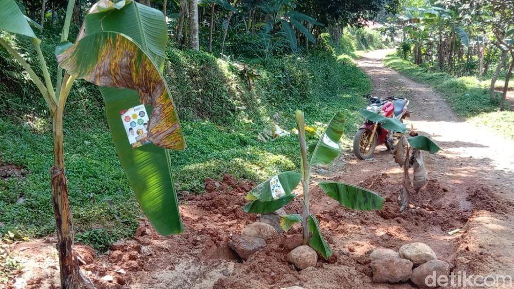 Janji 3 Bupati Cianjur Nihil, Jalan Rusak Ini Ditanami Pohon Pisang