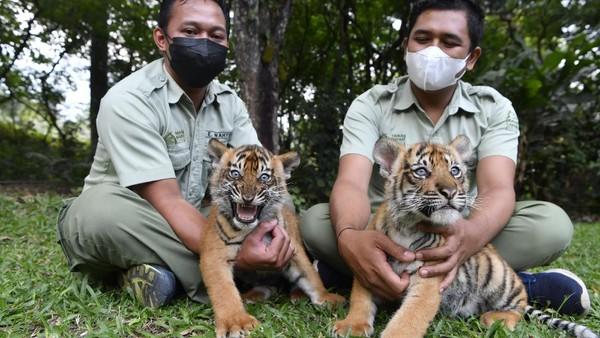 Perawat satwa menggendong dua bayi Harimau Sumatera (Panthera tigris sumatrae) saat pemberian nama bayi tersebut di Taman Safari Prigen, Pasuruan, Jawa Timur, Kamis (29/7/2021).