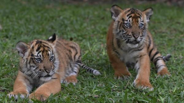 Kehadiran Isyana dan Aura menambah koleksi Harimau Sumatera di Taman Safari Prigen.
