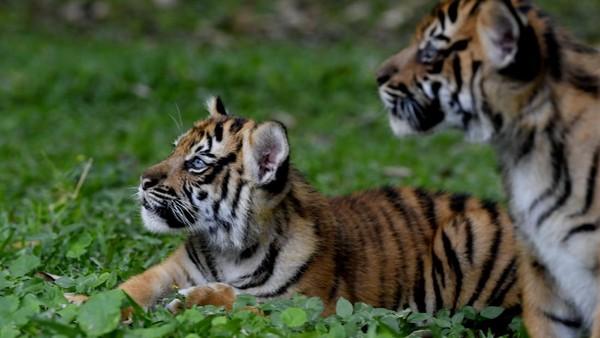 Pemberian nama dilakukan pada peringatan Hari Harimau Sedunia.