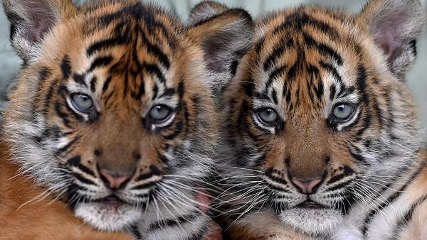 Dua bayi Harimau Sumatera yang lahir pada 4 Mei 2021 dan berjenis kelamin betina itu diberi nama Isyana dan Aura.