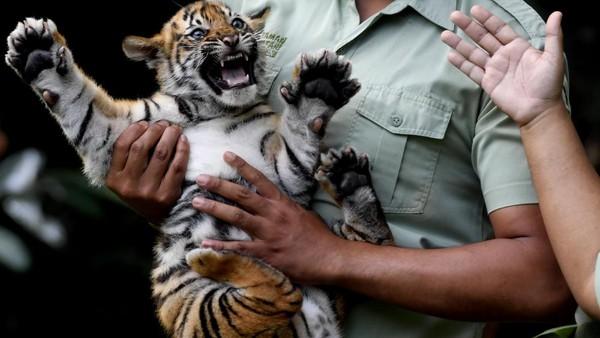 Hingga kini koleksi Harimau Sumatera di Taman Safari Prigen menjadi empat ekor.