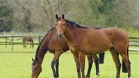 Hukum Makan Daging Kuda dalam Islam dan Khasiatnya untuk Kesehatan
