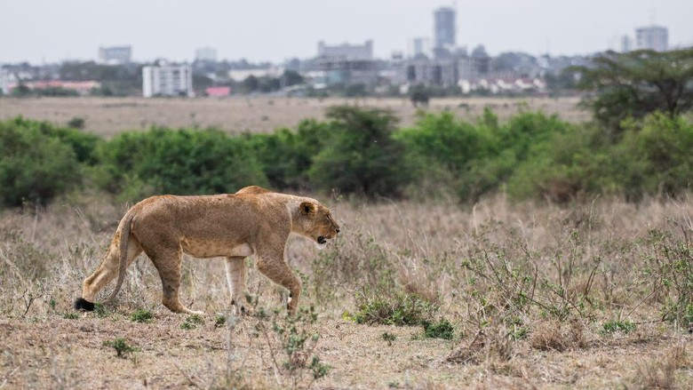 Female lion walking at Nairobi national park in middle of city. The city is background.