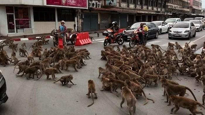 Tawuran dua kelompok monyet di Thailand
