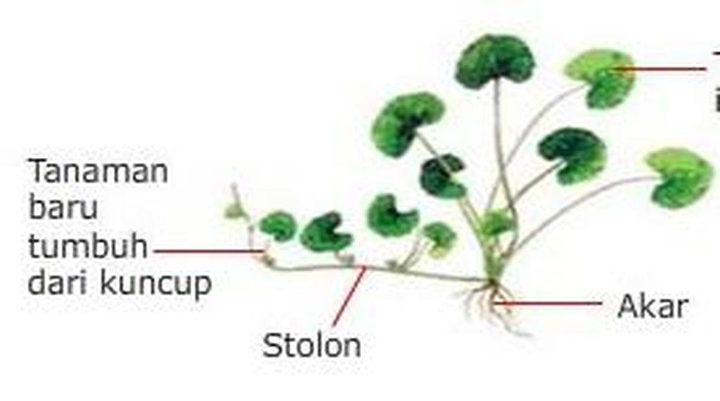 8 Tumbuhan yang Berkembang Biak dengan Geragih dan Nama Latinnya