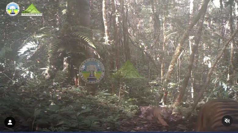 Harimau Sumatera di Taman Nasional Gunung Leuser