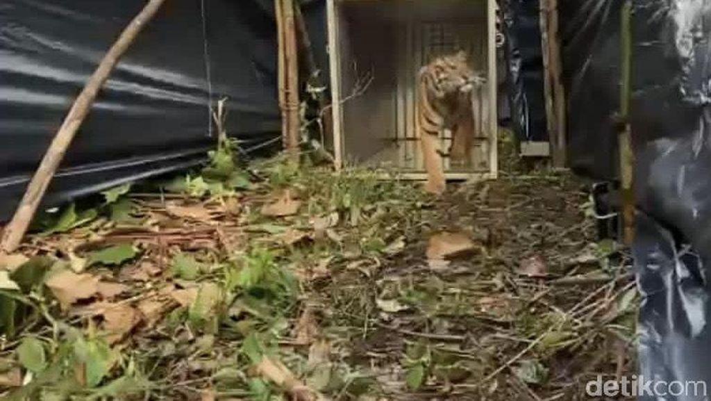BKSDA Sumbar Lepasliarkan Harimau Sumatera ke Hutan Lindung Pasaman Barat
