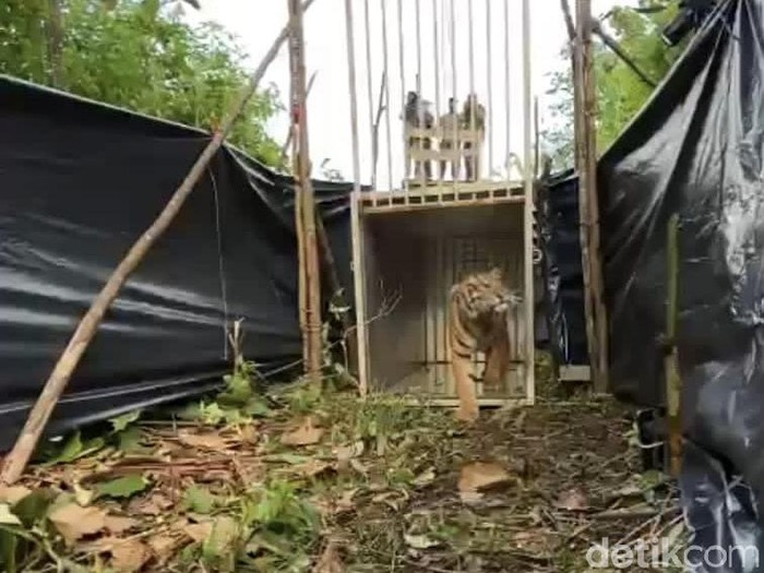 Pelapasliaran Harimau Sumatera di Pasaman Barat (Jeka Kampai/detikcom)