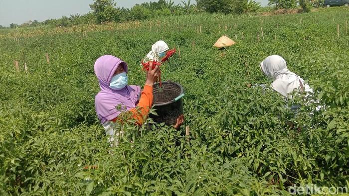 Petani cabai di Desa Kesambi Kecamatan Mejobo, Kabupaten Kudus, Jumat (30/7/2021).