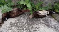 Warga Waswas Saat Belasan Burung Pipit Mati Misterius di Sukabumi