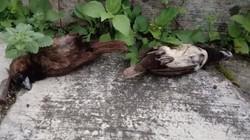 Belasan Burung Pipit Mati Misterius di Sukabumi dalam Sepekan