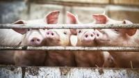 Begini Awal Mula Diharamkannya Daging Babi untuk Muslim