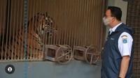 Cerita Anies 2 Harimau Warga DKI di Ragunan Positif Corona
