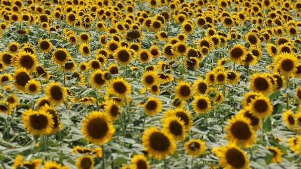 Kebun bunga matahari yang berada di kawasan Kasaoka, Jepang, itu ramai dikunjungi wisatawan yang hendak melihat jutaan bunga matahari yang bermekaran.