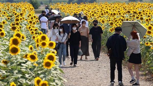 Melansir Getty Images, sekitar satu juga bunga matahari bermekaran di ladang tersebut.