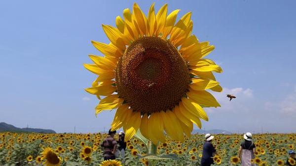 Festival bunga matahari Kasaoka Bay Farm ini diketahui akan diadakan hingga pertengahan Agustus mendatang.