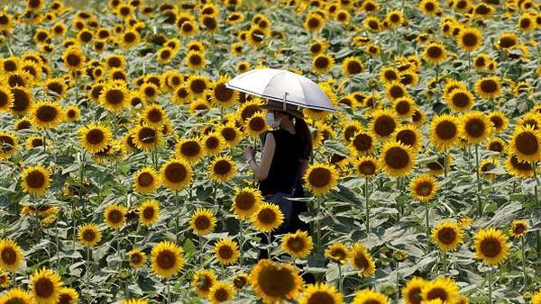 Tak sedikit pengunjung yang datang untuk berfoto di tengah hamparan bunga matahari yang bermekaran.