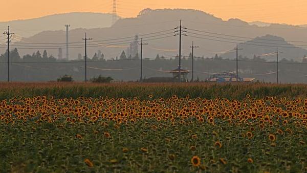 Pemandangan bunga matahari yang bermekaran di Kasaoka ini pun menampilkan pemandangan yang memanjakan mata.