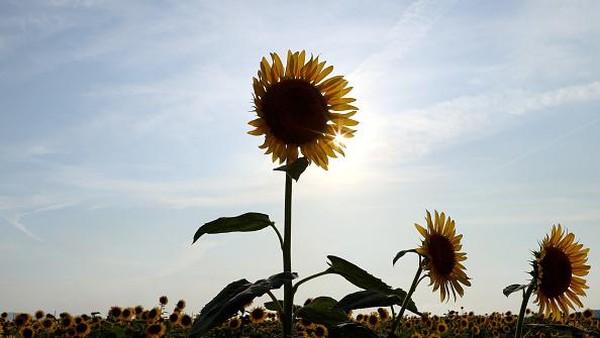 Penampakan bunga matahari yang bermekaran di Kasaoka, Jepang.