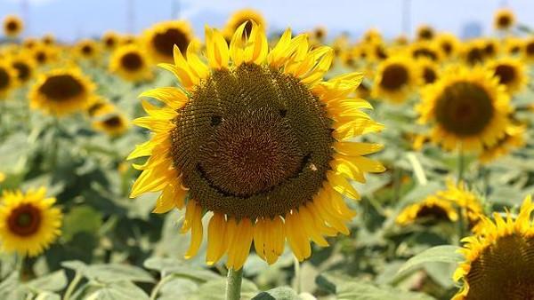 Kebun bunga matahari itu pun jadi salah satu destinasi wisata populer di kawasan Kasaoka.