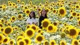 Cantiknya Jutaan Bunga Matahari yang Bermekaran di Jepang