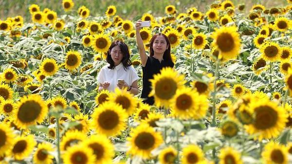 Sejumlah pengunjung berfoto di tengah lautan bunga matahari yang bermekaran di Kasaoka, Jepang, Sabtu (31/7/2021).