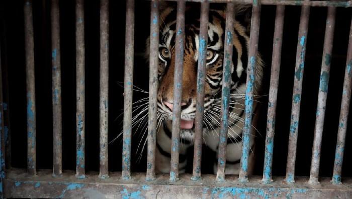 Harimau di Taman Margasatwa Ragunan positif Corona (Dok. FB Anies Baswedan)