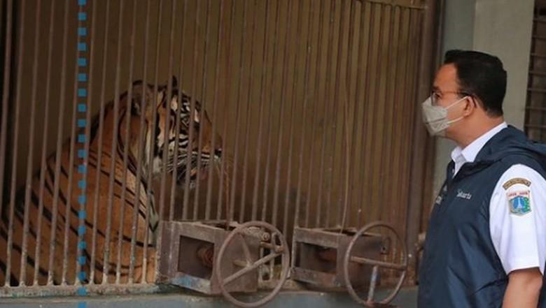 Harimau Sumatera di Ragunan