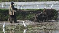 Kala Sawah di Bandung Ramai Diserbu Burung Kuntul